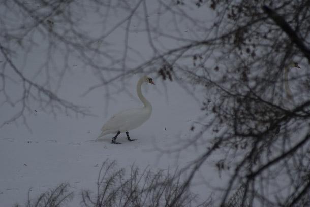 Swans Walk Along A Frozen Waterway