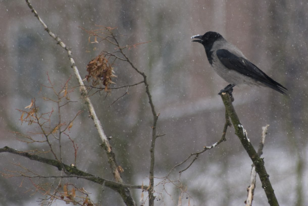 A Hooded Crow With Snow On Its Beak