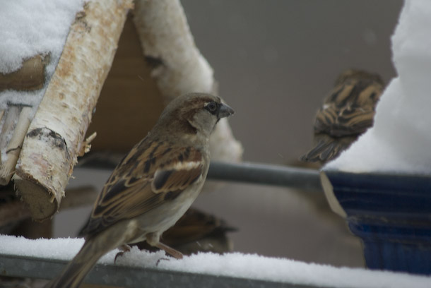 Sparrows Visited The Balcony