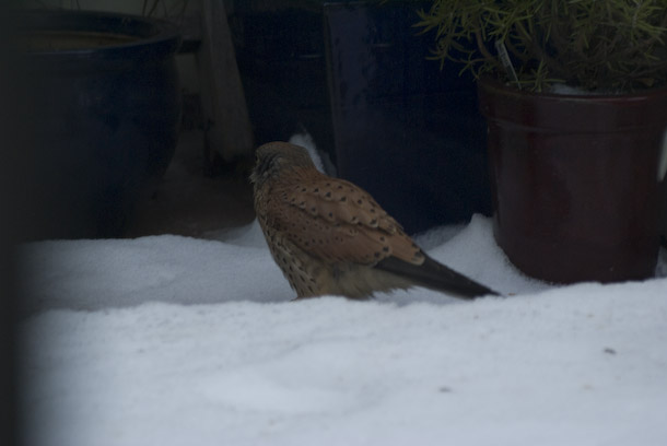 A Kestrel Visits The Balcony To Hunt Sparrows