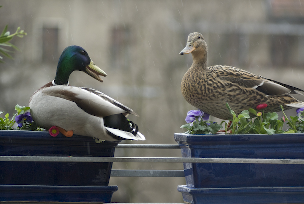 Two Big Mallards Hanging Out In Our Flowerpots And Chatting