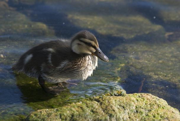 Standing Duckling