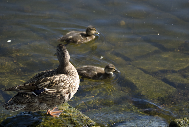 Mom Duck and Two Ducklings
