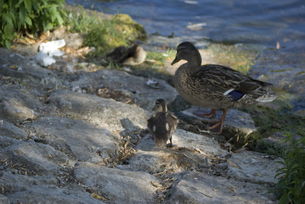 Mom Duck and Two Ducklings On Cobblestones