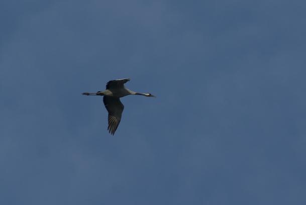 A single crane flies overhead