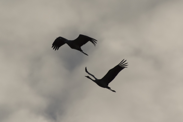Two cranes are silhouetted at dusk