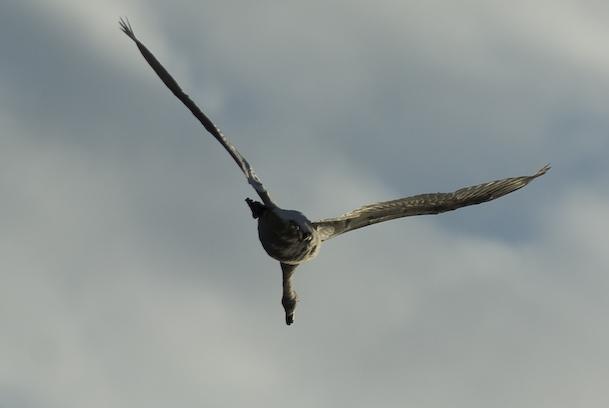 Swan Flies Over Berlin Balcony 1